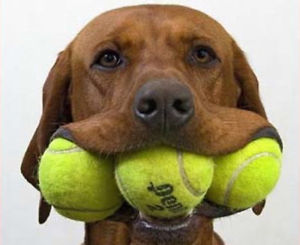 chien balles de tennis