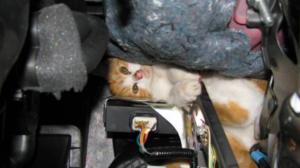 chat-capot-moteur-voiture