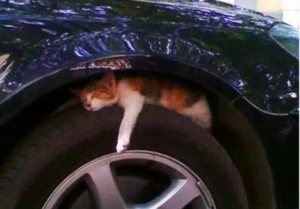 chat-roue-voiture-danger