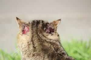 allergies-saisonnières-chat