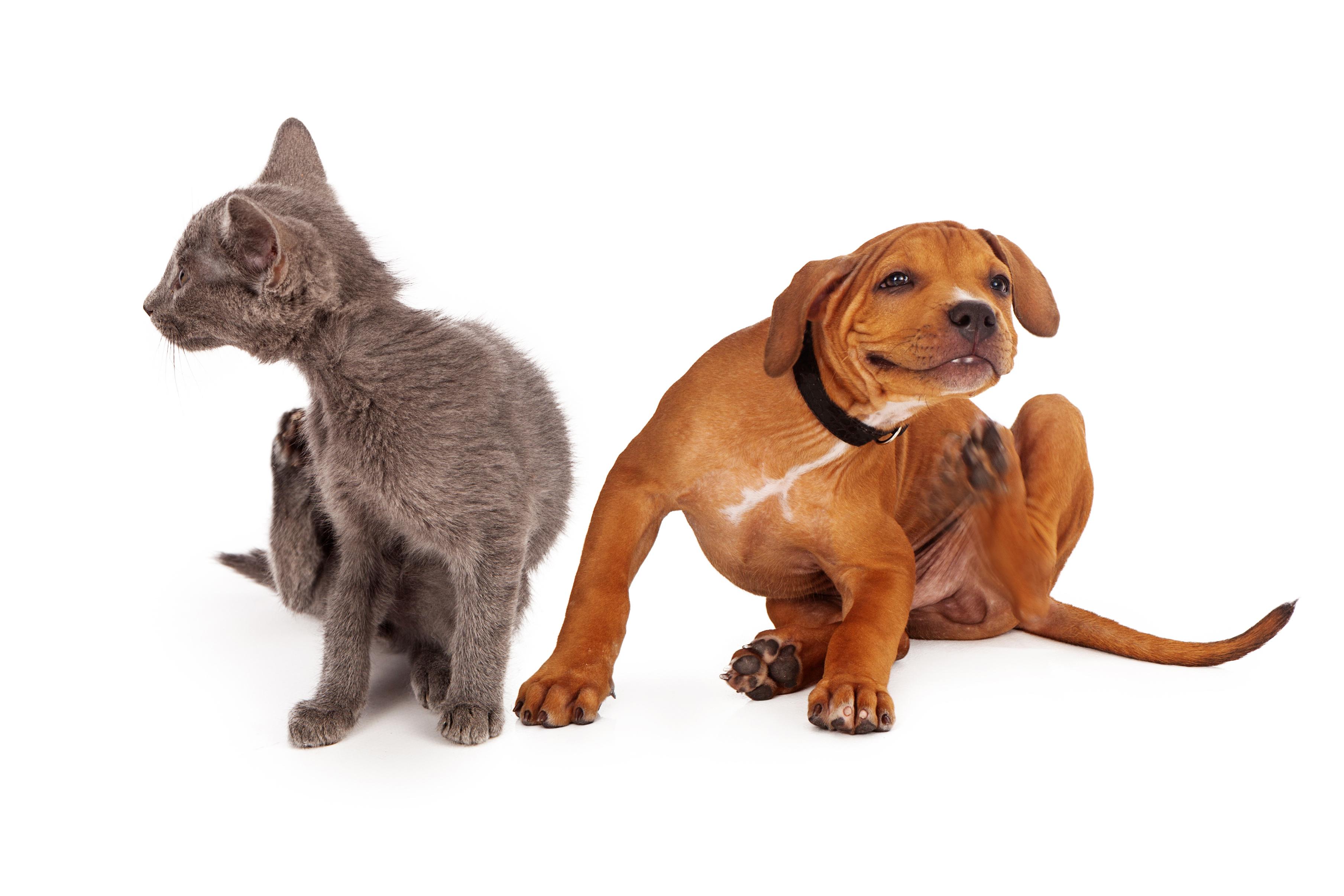 allergies saisonnières du chien et du chat
