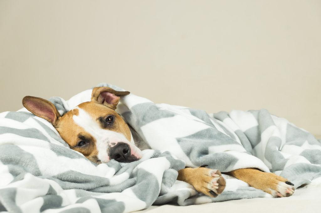 fièvre chez le chien malade