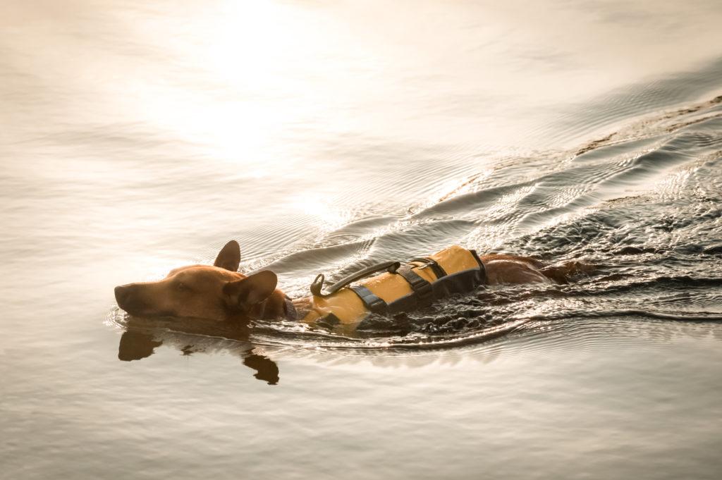 chien gilet sauvetage