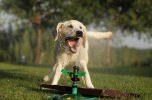 danger exces eau chien