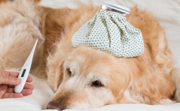 fièvre chez le chien