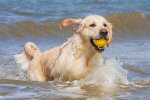intoxication eau salée chien